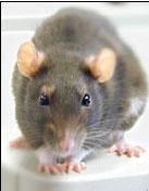 plagas de ratas