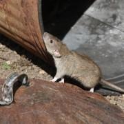 Plagas urbanas - eliminar ratas