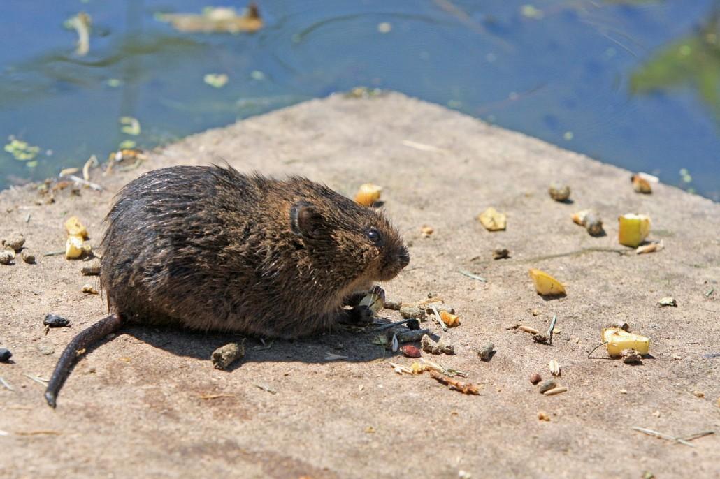 Plagas urbanas eliminar ratas
