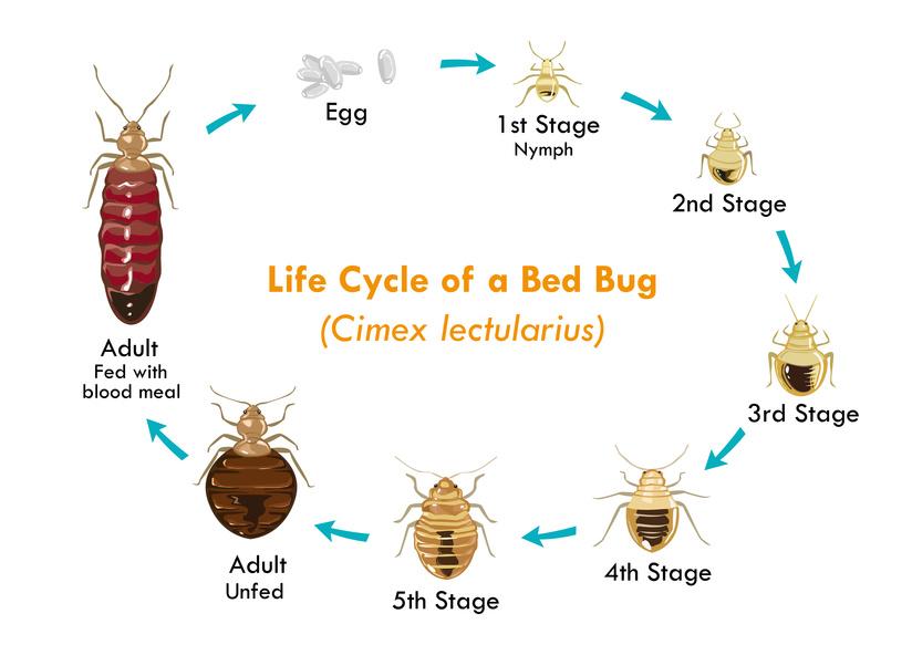 Ciclo de vida de las Chinches de cama