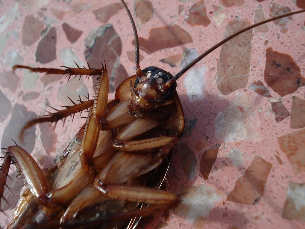 Cucarachas y Control de Plagas