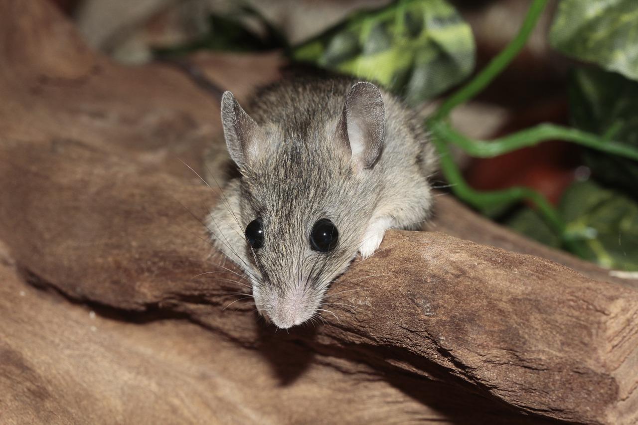 Cuánto tiempo viven los ratones