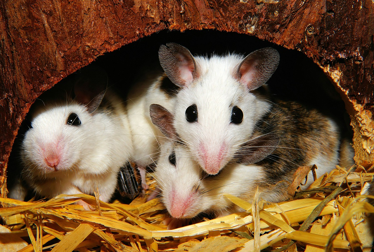 Ratones en casa, qué hacer - Control de Plagas - I+D Control