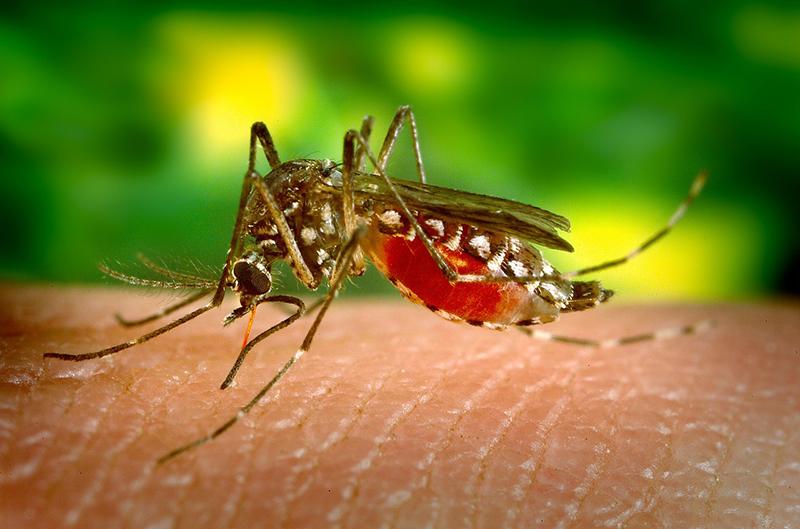 Mosquitos y enfermedades - I+D Control de Plagas