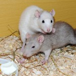 Temporada de ratas y roedores