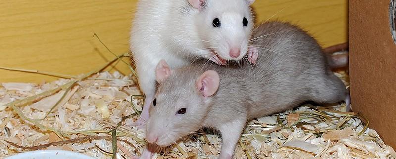 Ratas y roedores - ID Control de Plagas