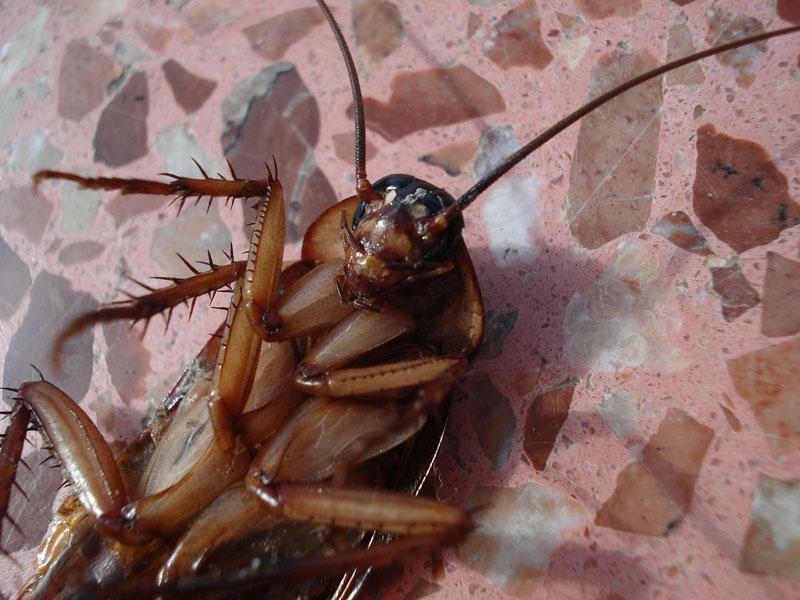 Plaga de cucarachas - Blog I+D Control de Plagas