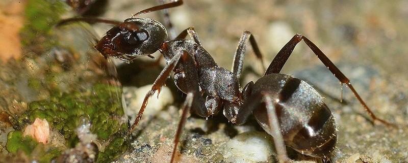 Los insectos - Blog de I+D Control de Plagas - Hormiga