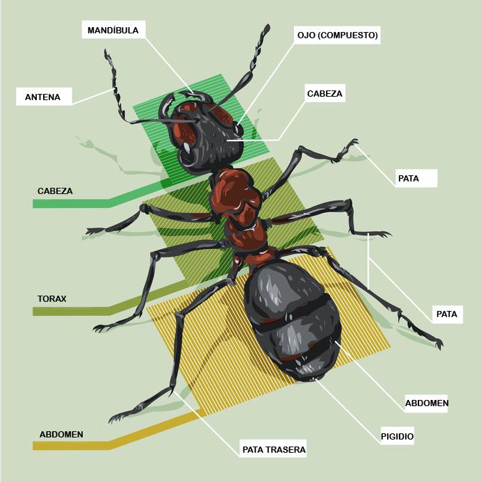 Los insectos - Blog de I+D Control de Plagas - La hormiga
