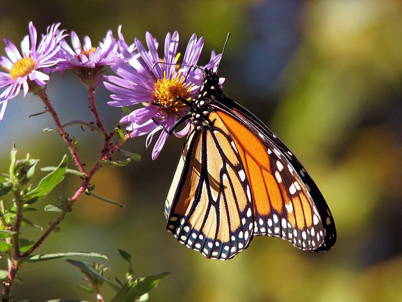 Los insectos - Blog de I+D Control de Plagas - Mariposa