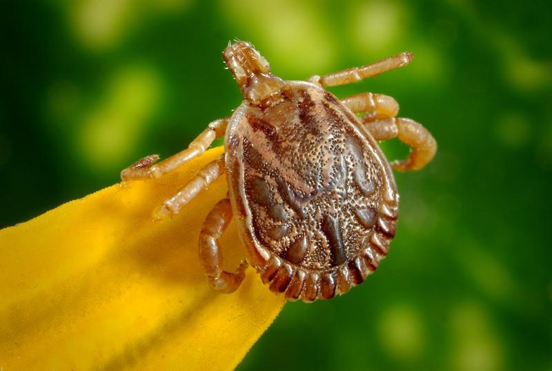 Garrapatas y fiebre hemorrágica - Blog I+D Control de Plagas