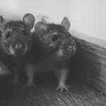 Medidas contra las ratas