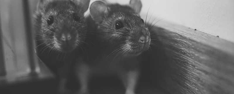 Más ratas que personas, ¿es posible?