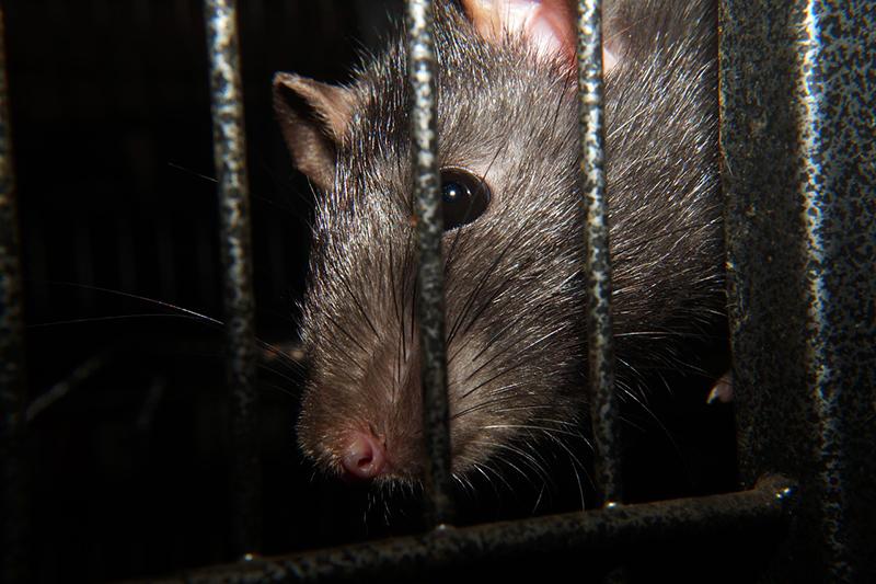 Medidas contra las ratas - ID Control Blog