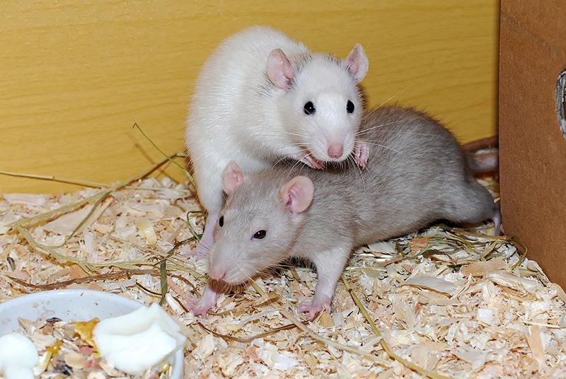 Plagas urbanas en Otoño - I+D Control - Ratas y roedores