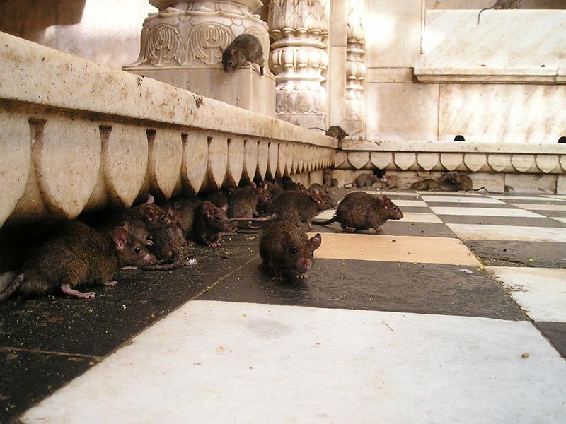 Ratas en las calles - Blog I+D Control de Plagas