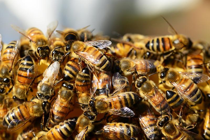 abejas en peligro - I+D Control de Plagas