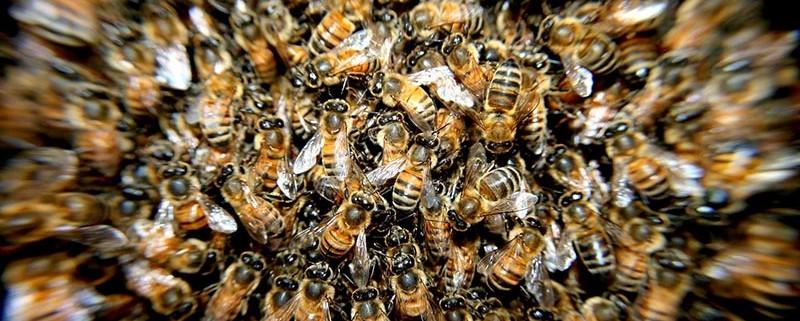 Ataques de abejas - ID Control de Plagas Blog