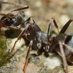 Hormigas, control de plagas