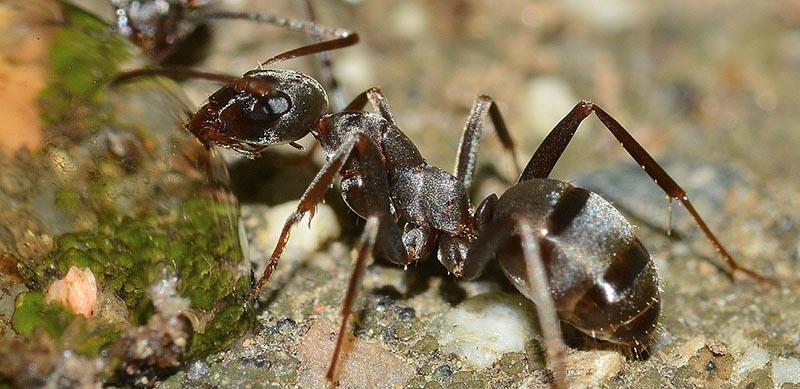 Hormigas Blog I+D Control de Plagas