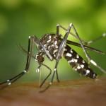 Mosquitos tigre adelantan su apogeo
