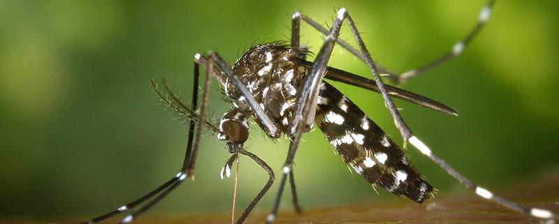 Mosquitos tigre - ID Control Blog