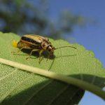 Escarabajos del olmo