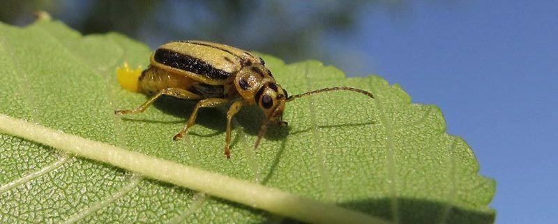 Escarabajos del olmo - ID Control de Plagas