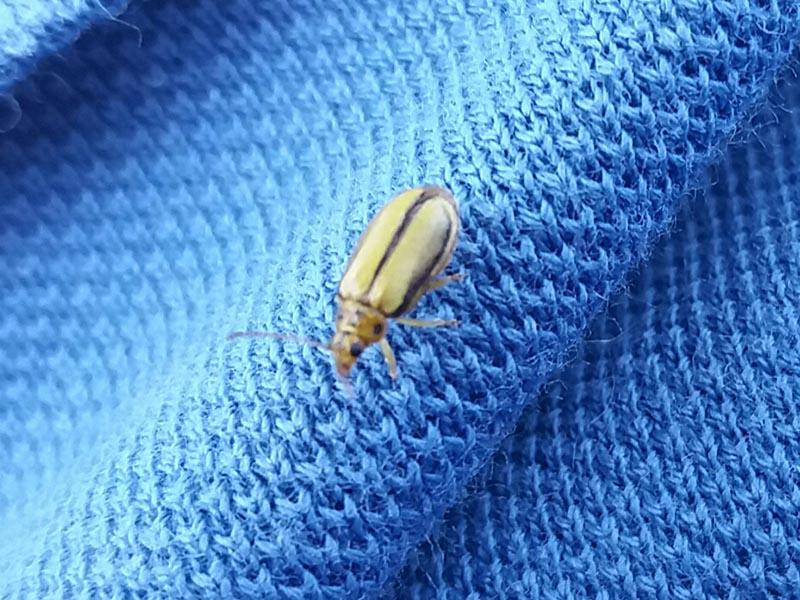 Escarabajos del olmo o galeruca del olmo - ID Control de Plagas