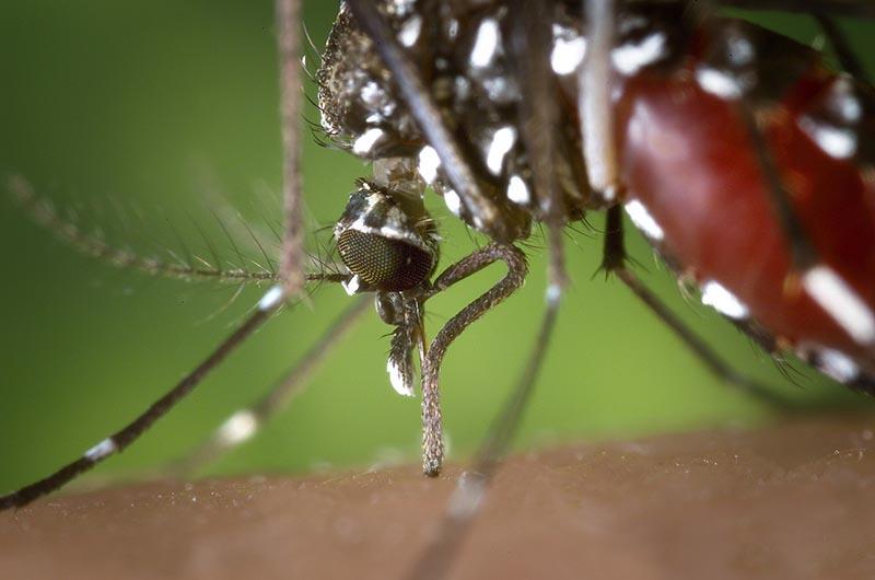 Mosca negra - Mosquito tigre - ID Control de Plagas