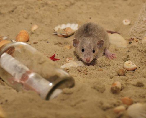 Enfermedades transmitidas por los roedores - ID Control de Plagas