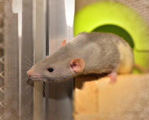 Plagas de ratas y ratones - ID Control de Plagas Urbanas