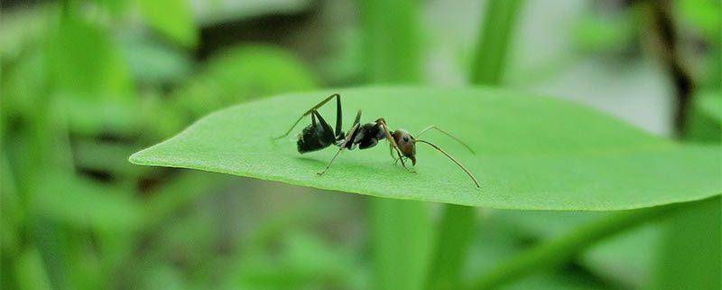 Hormigas - ID Control de Plagas