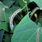 ¿Cómo prevenir y eliminar orugas en jardines?