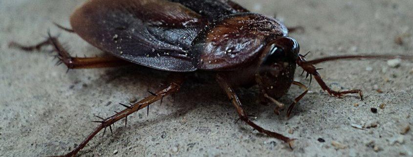 Eliminar plaga de Cucarachas negras en comunidades de vecinos